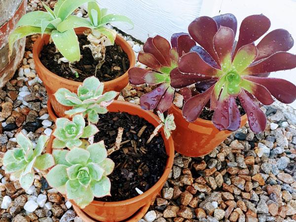 Succulents-web